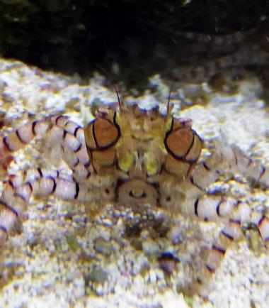 Pompom Krabbe
