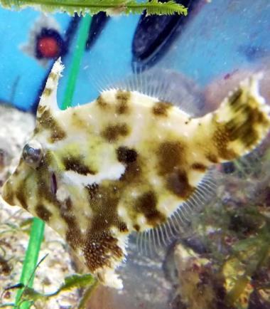 Acreichthys tomentosus, Seegrasfisch, Tangfeilenfisch