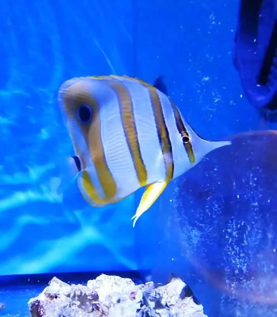 Chelmon rostratus - Orangebinden Pinzettfisch