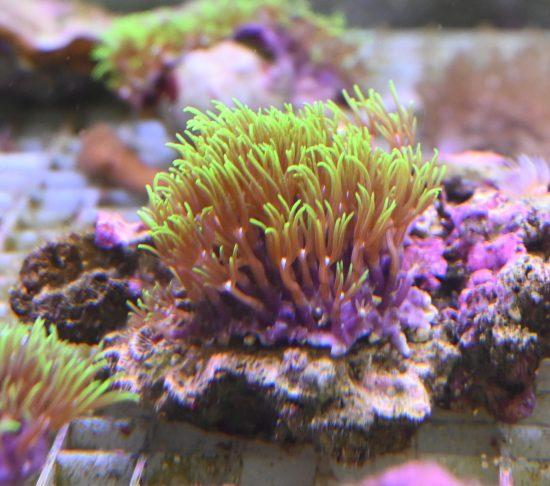 Briareum violaceum grüne Röhrenkoralle Ableger 1