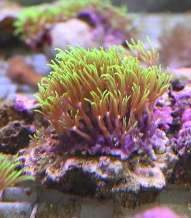 Briareum violaceum grüne Röhrenkoralle Ableger 2