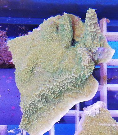 Montipora delicatula Fragile Mikroporenkoralle grün 2