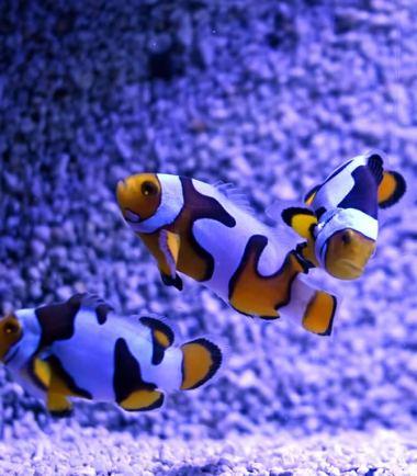 Amphiprion percula Picasso dreifarbig Nemo-Aquaristik