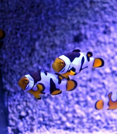Amphiprion percula Picasso dreifarbig Nemo