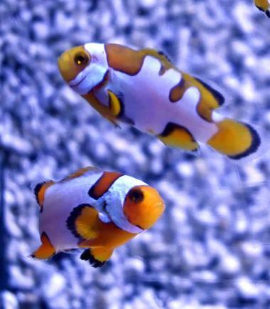 Amphiprion percula Picasso extrem Nemo-Aquaristik