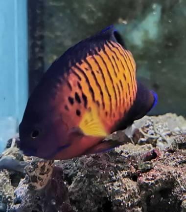 Centropyge bispinosa - Streifen Zwergkaiser Fisch