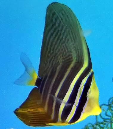 Zebrasoma veliferum - Segelflossen Doktorfisch
