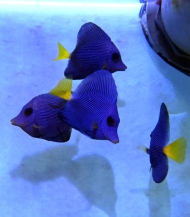 Zebrasoma xanthurum - Nemo Aquaristik