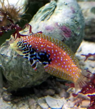 Diamant Lippfisch
