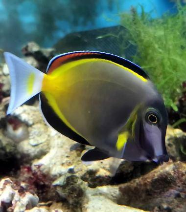 Acanthurus japonicus - Japanischer Doktorfisch - Philippinen Doktorfisch