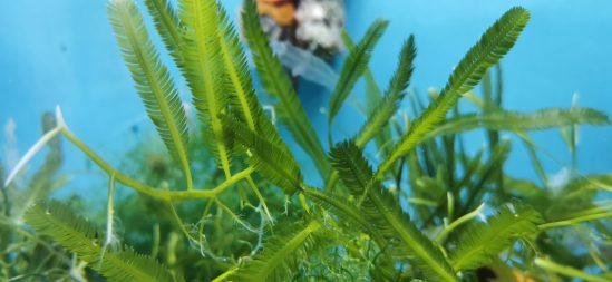 Caulerpa taxifolia Kriechsprossalge 1