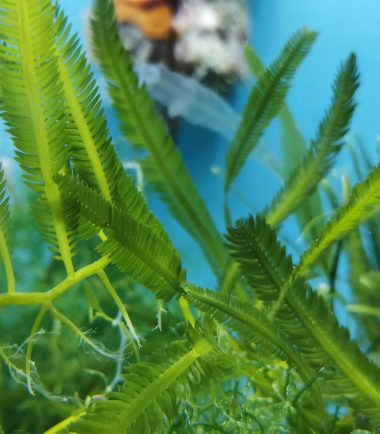 Caulerpa taxifolia Kriechsprossalge 2