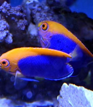 Orangerücken Zwergkaiserfisch