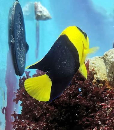 Blau-gelber Zwergkaiserfisch