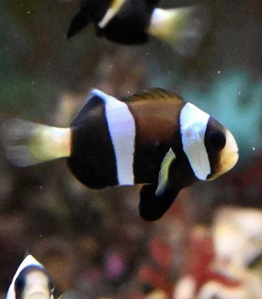 schwarzer Clarks Anemonenfisch