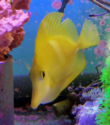 Zebrasoma flavescens - Zitronenflossen Doktorfisch, Hawaii-Doktor
