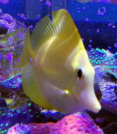 Zitronenflossen Doktorfisch - Hawaii Doktor