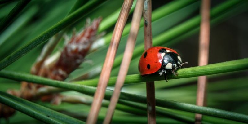 ROME TURNS TO LADYBIRDS TO SAVE THE CITY'S PINE TREES