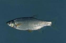 species information nemo bait