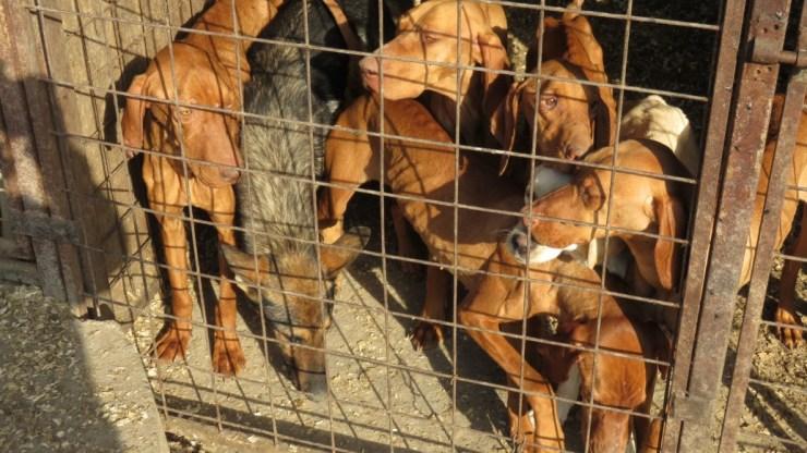 """""""Bárki ütheti, vághatja a kutyát, amíg nincs rá tanú"""" – romlik az állatvédelmi helyzet"""