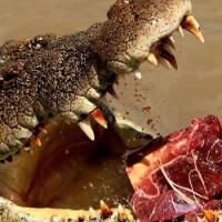 Izraeli krokodilok  veszélyeztetik a Jordán völgy lakóit