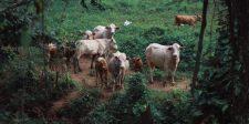 Csökkenthető a szarvasmarhák metánkibocsátása