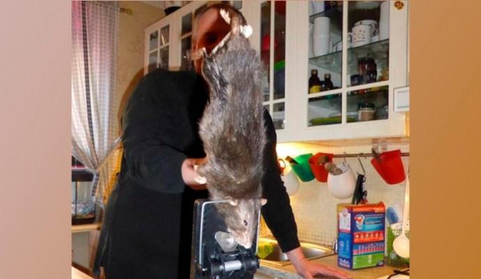 Óriási patkányt fogtak meg Svédországban