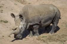Már csak három fehér rinocérosz maradt a Földön