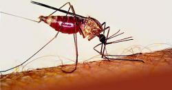 Itt a kongói vérzéses és a nílusi láz: Afrikai betegségeket terjesztenek a szúnyogok