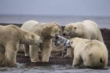 Jegesmedve-invázió Oroszországban