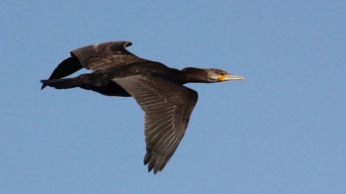 Több száz madarat ölnek le a Tisza-tónál