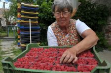 Veszélyben a hazai bogyós gyümölcsök