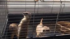 Fertő Gödön: szurikátát, ormányos medvét, kakadut mentettek