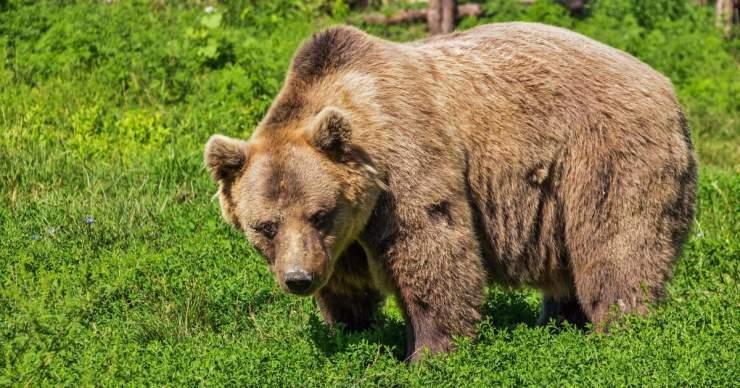 A boncolás igazolta: medvetámadás áldozata lett a hétfőn megtalált férfi