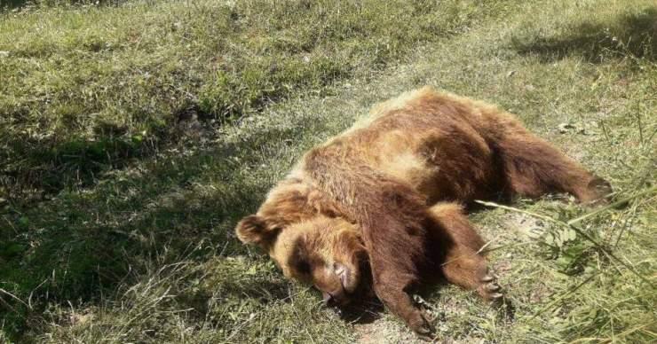 Gyetva mellett egy medve tetemét találták a konténerben