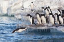 150 ezer pingvin pusztult el egy jégtábla miatt
