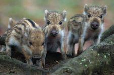"""""""Migrációs háttérrel rendelkező"""" fiatalok vadmalacot fojtottak meg unalomból egy bécsi vadasparkban"""