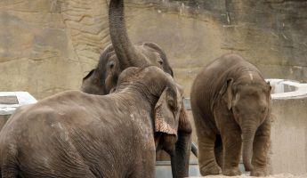 Az emberek etnikumát is felismerik az elefántok