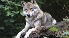 Súlyos büntetés várhat a bükki farkasölőre