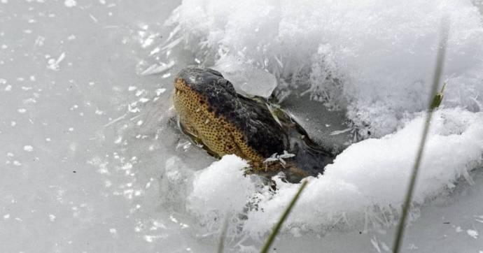 A kajmánok sajátos módszerrel vészelik át az elképesztő hideget Oklahomában