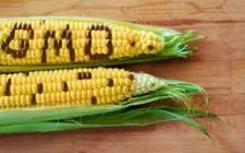 Olasz gazdák megkérdőjelezik az Európai Bíróság GMO kukorica döntését