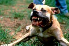Szabályoznák a harci kutyák mozgását