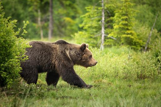 Hivatalos: Medvetámadásba halt bele az 57-éves szlovákiai férfi