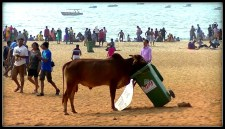Az embernek köszönhetően hamarosan a tehén lesz a legnagyobb szárazföldi emlős a szárazföldön