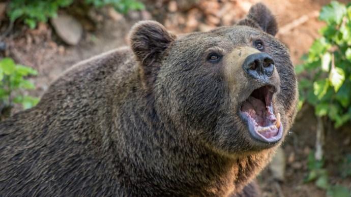 Fokozódik a medvepánik Nógrádban