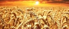 Végül az Orbán-kormány nyitja meg Európa kapuit a GMO-k előtt?