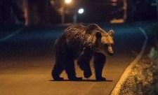 """""""Itt a medve, he!"""" – Ezúttal Miskolcon láttak kóbor mackót"""