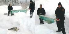 Fókák özönlötték el a kanadai falut (videó)