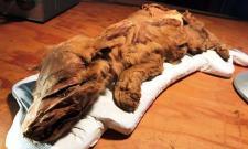 Páratlan felfedezés: 50 ezer éves jégbe fagyott farkast találtak