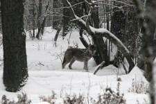 100 év után újra van vadonélő farkas Magyarországon